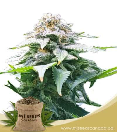 Misty Autoflowering Marijuana Seeds