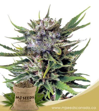 Northern Berry Autoflowering Marijuana Seeds