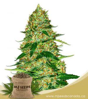 Northern Lights Autoflowering Marijuana Seeds