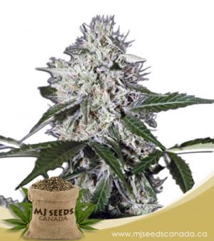 Northern Wreck Autoflowering Marijuana Seeds