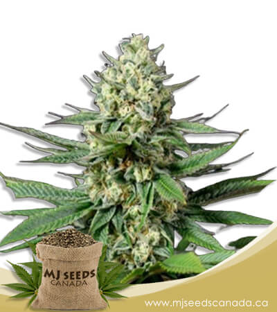 OG Kush Feminized Fast Version Marijuana Seeds