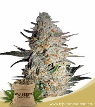OG Punch Feminized Marijuana Seeds