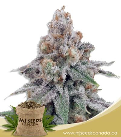 OG Wedding Feminized Marijuana Seeds