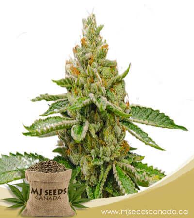 Orange Cake Autoflowering Marijuana Seeds