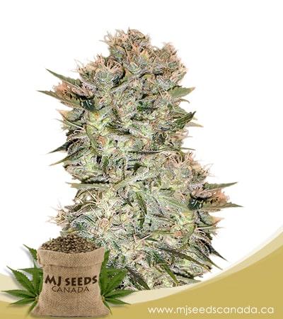original skunk marijuana seeds