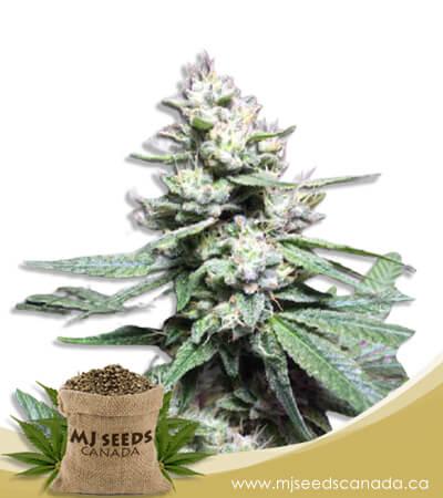 Papaya Glue Feminized Marijuana Seeds