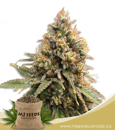 Peanut Butter Haze Feminized Marijuana Seeds