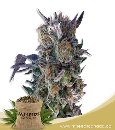 Phantom Cookies Feminized Marijuana Seeds