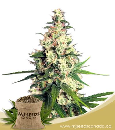 Pineapple Express Feminized Marijuana Seeds
