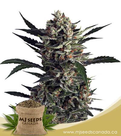 Pink Mangos Feminized Marijuana Seeds