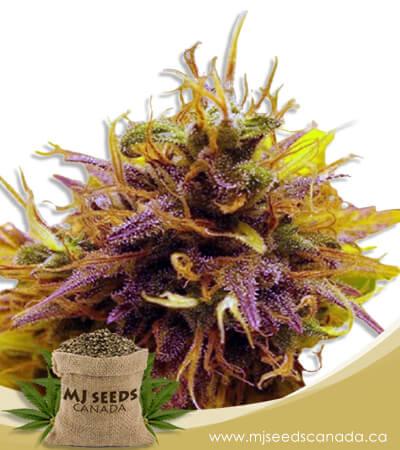 Pink Panther Feminized Fast Version Marijuana Seeds