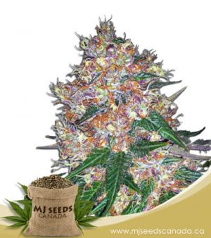 Pink Runtz Autoflowering Marijuana Seeds