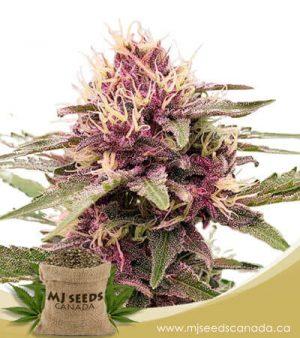 Pink Sunset Autoflowering Marijuana Seeds