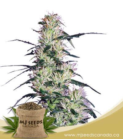 Pluto Kush Autoflowering Marijuana Seeds