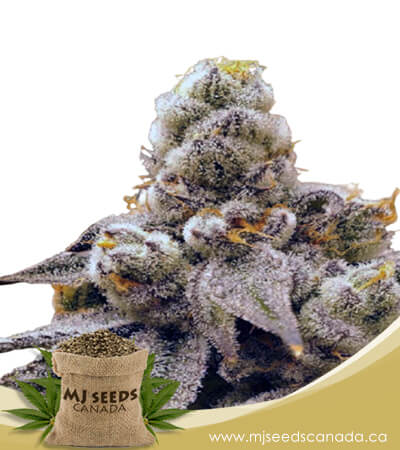 Purple Punch Feminized Fast Version Marijuana Seeds