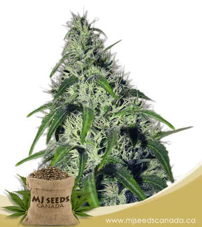 Revolver Autoflowering Marijuana Seeds