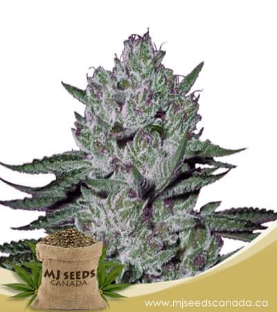 Rock Candy Feminized Marijuana Seeds