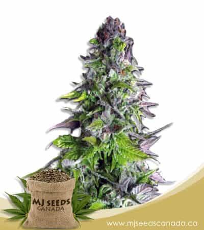 Romulan Feminized Marijuana Seeds