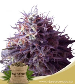 Runtz Autoflowering Marijuana Seeds