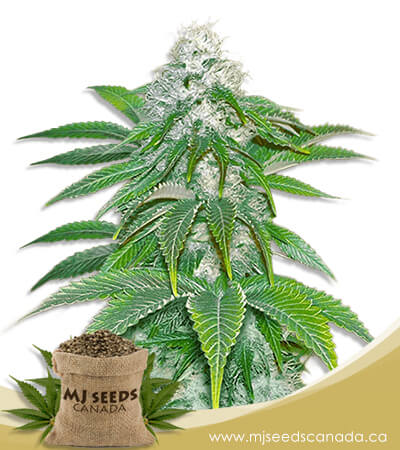 Sour Diesel Feminized Marijuana Seeds