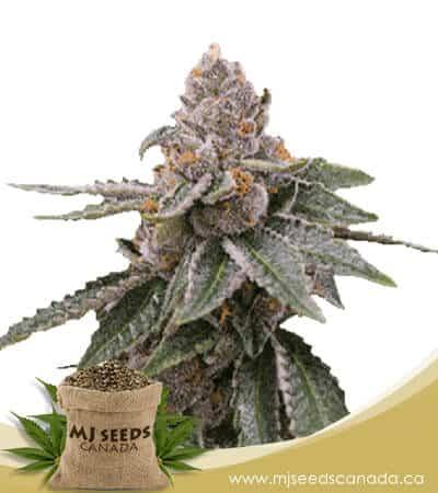 Sour Girl Autoflowering Marijuana Seeds