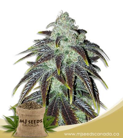 Sour Jack Feminized Marijuana Seeds