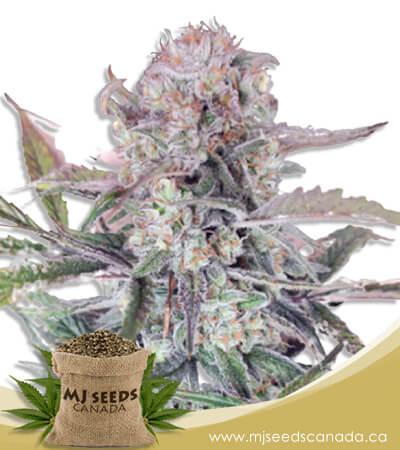 Sour OG Feminized Marijuana Seeds