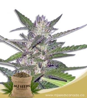 Spider Kush Autoflowering Marijuana Seeds