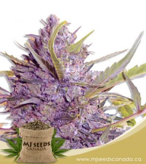 Star Gazer Autoflowering Fast Version Marijuana Seeds