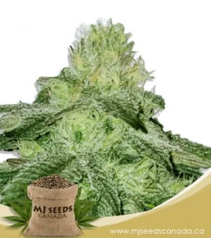 strawberry milk feminized fast version marijuana strain