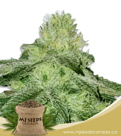 Sugar Kush Feminized Fast Version Marijuana Seeds