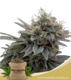 Sugar Shack Autoflowering Marijuana Seeds