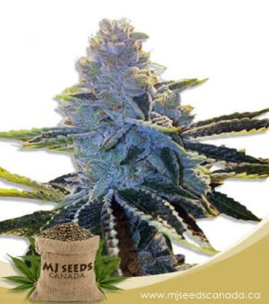 Super Dog Autoflowering Marijuana Seeds
