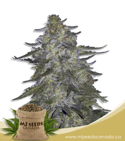 Super Hash Autoflowering Marijuana Seeds
