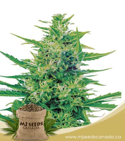 Super Silver Haze (CBD Sativa) Feminized Marijuana Seeds