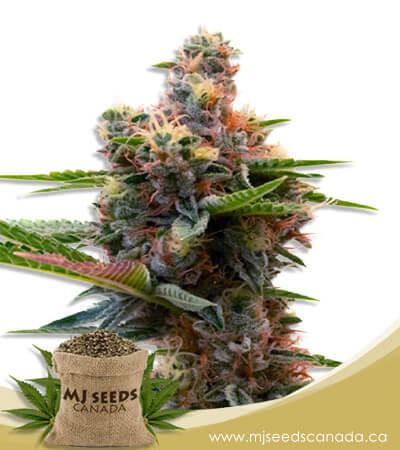 Sweet Island Feminized Marijuana Seeds