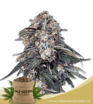 Tang OG Feminized Marijuana Seeds