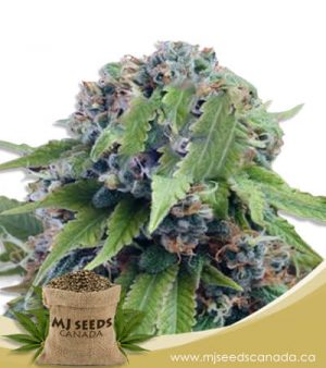 Tangerine Dream Autoflowering Marijuana Seeds