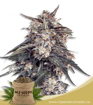 Tangie Feminized Marijuana Seeds