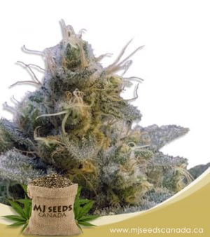 Thai Autoflowering Marijuana Seeds