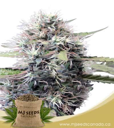 Tokyo OG Feminized Marijuana Seeds