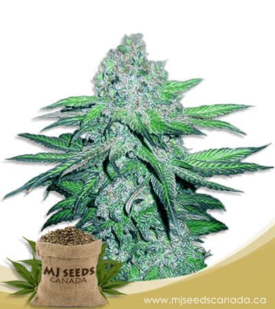 Train Wreck Autoflowering Marijuana Seeds