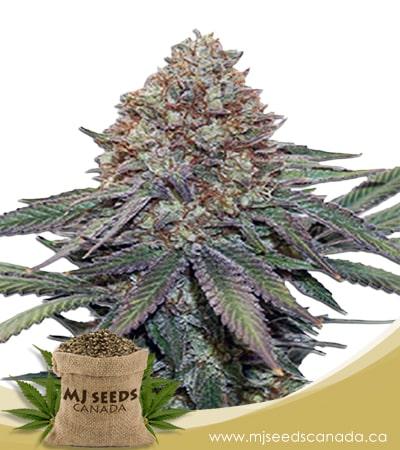 Ultra Bomb Cookie Feminized Marijuana Seeds