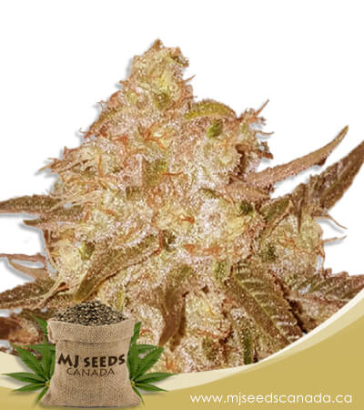 Venice OG Feminized Marijuana Seeds