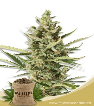 wake n bake feminized fast version marijuana strain