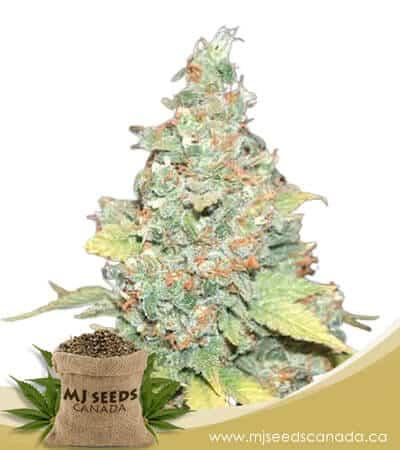 Wembley Feminized Marijuana Seeds