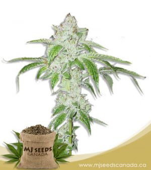White Fire OG Autoflowering Fast Version Marijuana Seeds