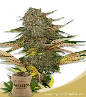Zodiac Autoflowering Fast Version Marijuana Seeds