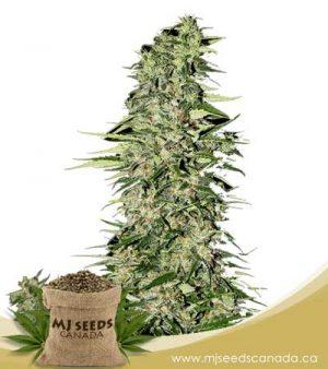 Diamond Girl Feminized Marijuana Seeds