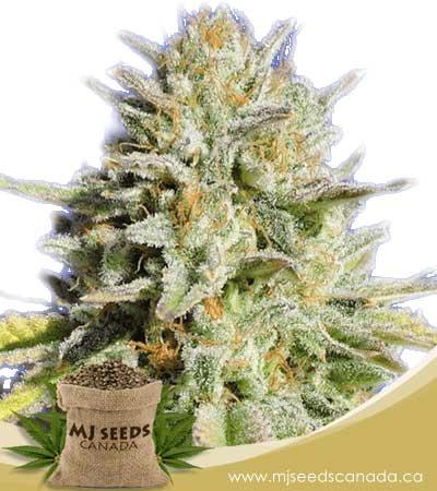 Gorilla Glue #4 Feminized Marijuana Seeds